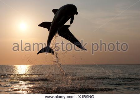Bottlenose Dolphins at sunset, Honduras - Stock Photo