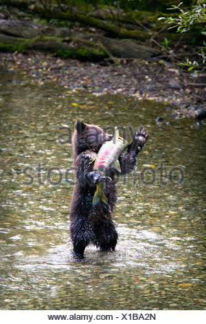Grizzly Bear Cub Standing On His Hind Legs Catching A Chum Salmon; Hyder, Alaska, United States Of America - Stock Photo