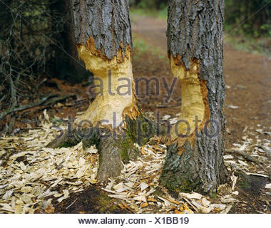 North American beaver, Canadian beaver (Castor canadensis), burrows at two tree trunks - Stock Photo