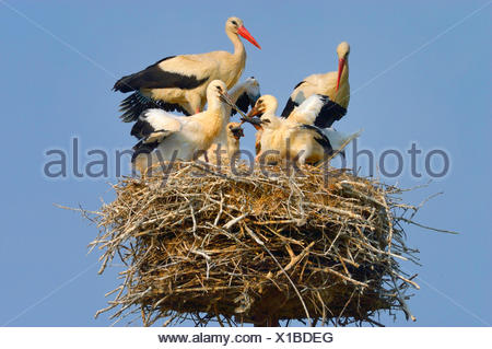 white stork (Ciconia ciconia), family on the nest, feeding of the squeakers with a colubrine snake, Hungary - Stock Photo