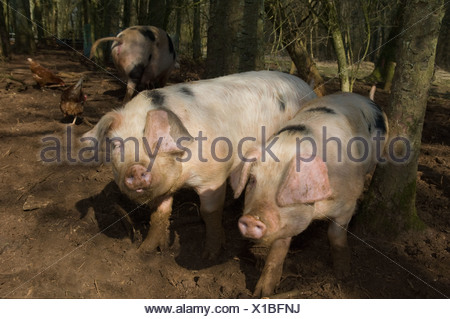 Three pigs walking in mud on farm - Stock Photo