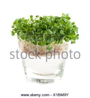newly sprouted radish seeds - Stock Photo