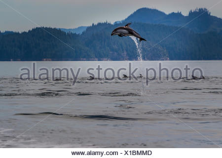 Pacific White Sided Dolphin (Lagenorhynchus obliquidens) jumping in Broughton Archipelago Marine Park in British Columbia - Stock Photo