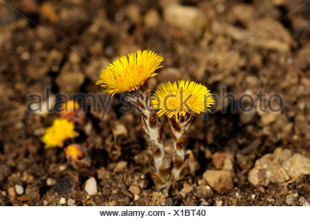 Coltsfoot (Tussilago farfara) - Stock Photo