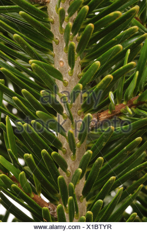 Nordman fir (Abies nordmanniana), branch, upper side - Stock Photo