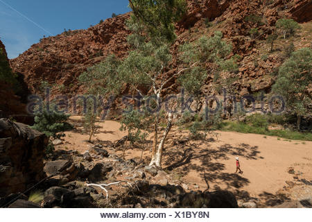 River red gum tree (Eucalyptus camaldulensis)  Redbank Gorge, West MacDonnell Ranges, Alice Springs, Northern Territory, Australia. - Stock Photo