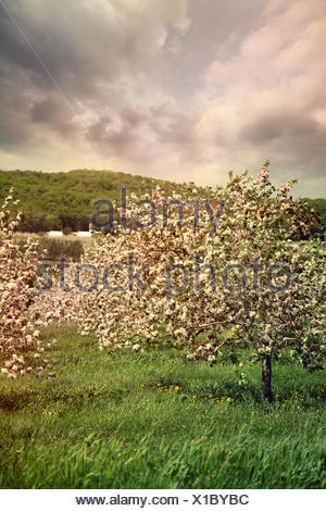 Blossoming apple trees in spring - Stock Photo