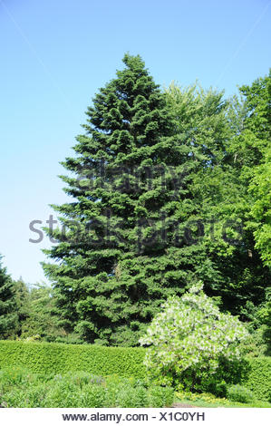 Caucasian fir - Stock Photo