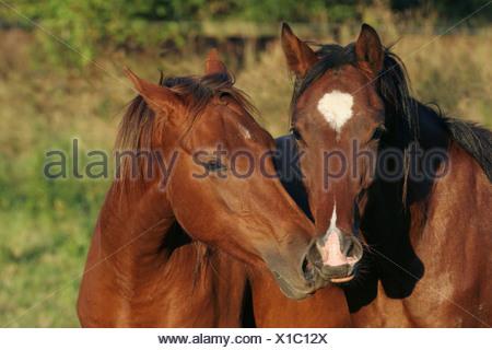 two horses - Stock Photo