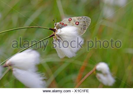 Phoebus Apollo, Small Apollo (Parnassius phoebus), sittin on cotton-grass, Austria, Tyrol - Stock Photo