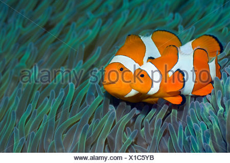 False clown anemonefish (Amphiprion ocellaris) pair, female with smaller male swimming past sea anemones, Misool, Raja Ampat, West Papua, Indonesia - Stock Photo
