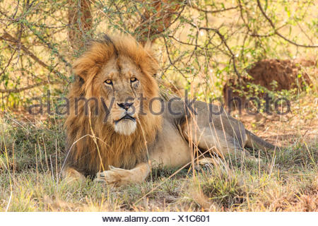 An African lion, Panthera leo, resting under a tree in Murchison Falls National Park. - Stock Photo
