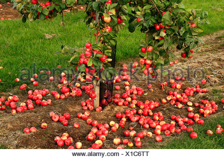Fallen Apples on the ground, 'Red Miller's Seedling', malus domestica, apples variety varieties growing on tree Norfolk England - Stock Photo