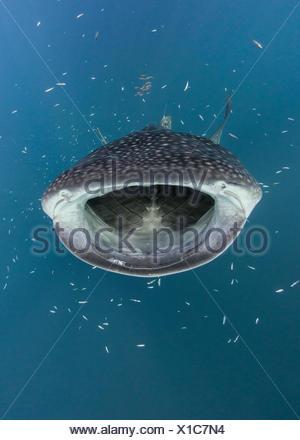 Whale shark hunting fish, Cenderawasih Bay, Papua, Indonesia - Stock Photo