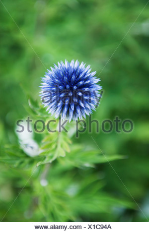 Close-up of blue thistle flower against blurred green background - Stock Photo