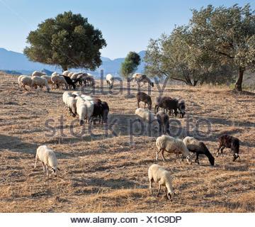 Grazing sheep near Faliraki, Rhodes Island, Greece, Southern Europe, Europe - Stock Photo