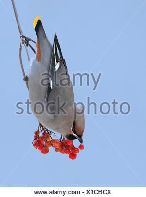 A Bohemian Waxwing, Bombycilla garrulus, eating berries in Saskatchewan, Canada - Stock Photo