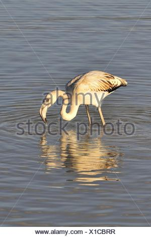 The Greater Flamingo Phoenicopterus roseus is the most widespread species of the flamingo family in Aiguamolls Emporda Marshes Girona Catalonia Spain - Stock Photo