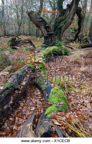 autumnal primeval forest, herrenholz, vechta district, niedersachsen, germany - Stock Photo