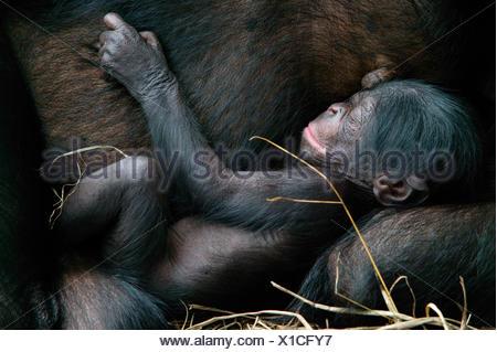 Bonobo (Pan paniscus) newborn baby sleeping next to mother, Lola Ya Bonobo Sanctuary, Republic of the Congo. - Stock Photo