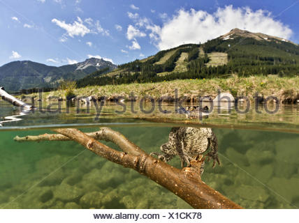 Common toad (Bufo bufo complex) sitting underwater on a branch and looking out of the water, Bergsee, Styria, Austria - Stock Photo