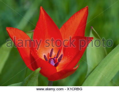 common garden tulip (Tulipa spec.), with red flowers and acute petals - Stock Photo