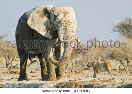 African Elephant (Loxodonta africana) and lionness (Panthera leo), Nxai Pan, Makgadikgadi Pans National Park, Botswana, Africa - Stock Photo