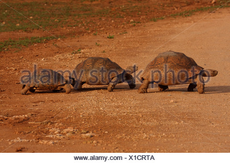 leopard tortoise (Geochelone pardalis), familiy, South Africa, Eastern Cape, Addo Elephant National Park - Stock Photo