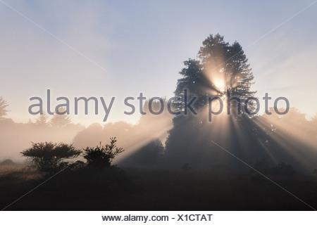 Monterey Bay California USA Sun coast redwoods Sequoia sempervirens Monterey - Stock Photo