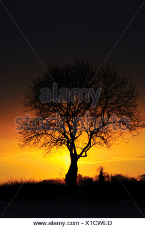 Fraxinus excelsior, Ash - Stock Photo
