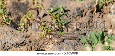 Two Canaries Lizards (Gallotia galloti) basking on a rock, endemic to the Canaries, Tenerife, Canary Islands, Spain - Stock Photo