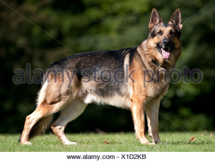 German Shepherd Dog Alsatian Standing in park UK - Stock Photo