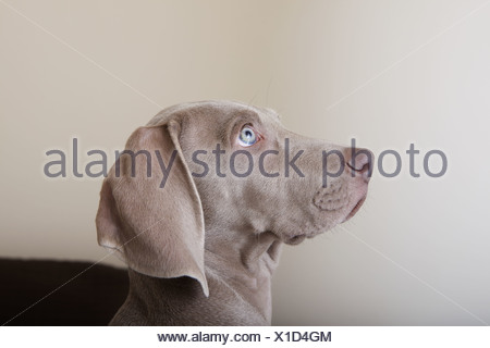 Profile of a weimaraner puppy, a side view of the head. - Stock Photo