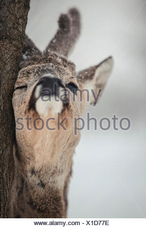 Roe deer rubbing tree, close-up - Stock Photo