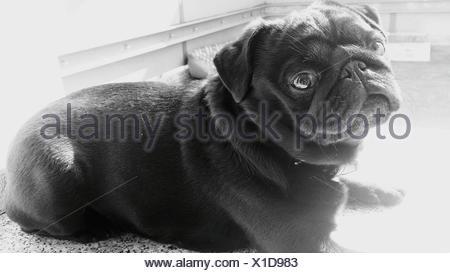 Black Pug Sitting At Home - Stock Photo
