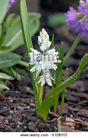 Striped Squill - Stock Photo