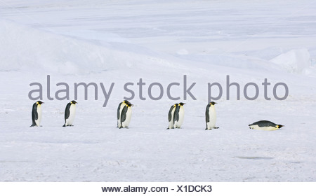 A row of Emperor penguins walking across the ice and snow in single file One lying on its stomach sliding along - Stock Photo
