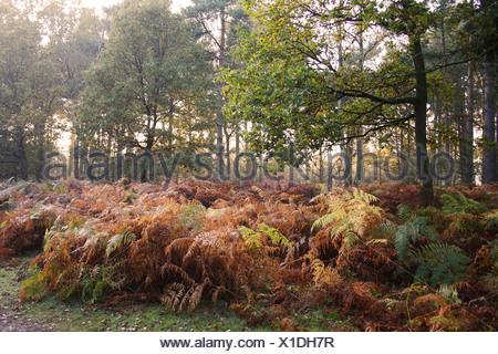 Bracken Pteridium aquilinum fronds in autumn colour growing in woodland habitat dawn Knettishall Heath Reserve Suffolk England - Stock Photo