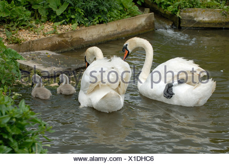 Pair of mute swans with young cygnets and food in enclosure at Abbotsbury Swannery - Stock Photo