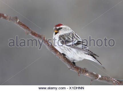 A Hoary Redpoll, Acanthis hornemanni, perches on a branch in Saskatoon, Saskatchewan - Stock Photo