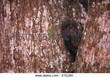 Black Howler Monkey, Islas Bocas del Toro, Panama - Stock Photo