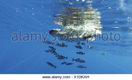 A loggerhead turtle accompanied by pilot fish drifts in a current. - Stock Photo