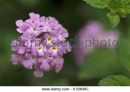 Lantana camara flowering plant NCBS, Bangalore, Karnataka. - Stock Photo