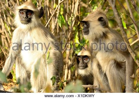 Tufted grey langurs (Semnopithecus priam) in Chinnar Wildlife sanctuary, Idukki province, Kerala, India - Stock Photo