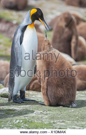 An adult King penguin (Aptenodytes patagonicus) feeding its chick, East Falkland, Falkland Islands, South Atlantic - Stock Photo
