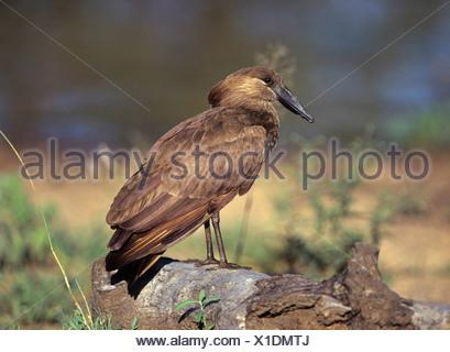 hammercop (Scopus umbretta), sitting on a tree trunk - Stock Photo