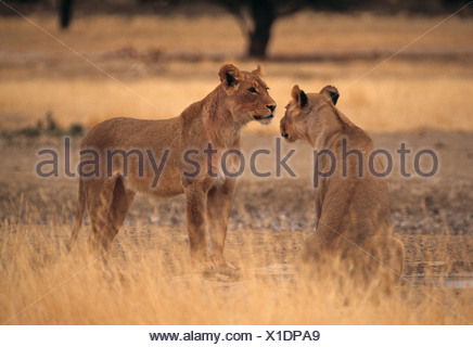 lion, panthera leo - Stock Photo