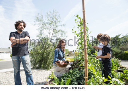 Family with two boys picking peas in garden - Stock Photo