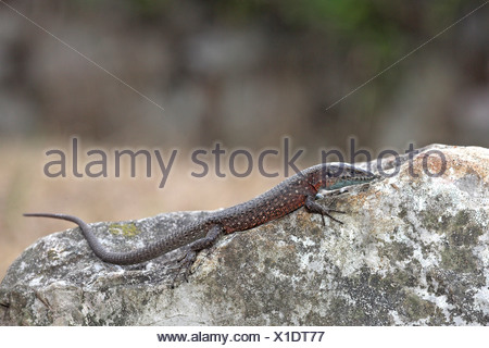 overview of a male Dalmatian algyroides basking on a rock - Stock Photo