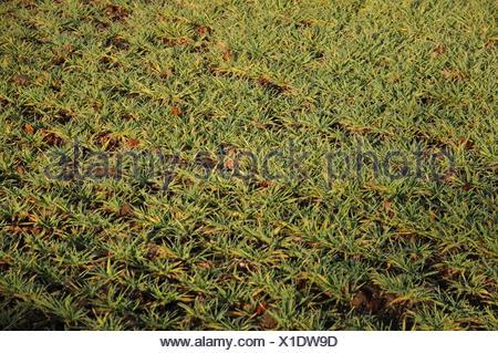 Triticum aestivum, Wheat - Stock Photo